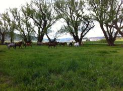 summer_horses_runing
