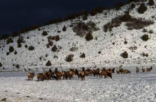 winter_elk